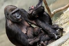 Cousins Zachary and Nora with Kamba (dpsager) Tags: brookfield brookfieldzoo dpsagerphotography gorilla primate westernlowlandgorilla zoo zachary kamba nora zoosofnorthamerica saariysqualitypictures