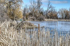 A Home at the Edge of the Wetlands (Herculeus.) Tags: baycity michigan usa water wetlands outdoor outdoors outside lodge landscape landscapes sky clouds 2018 march reeds cattails observationplatform animalhouses nature nikond600 nikkoraf2485mm affinity beaverlodge weepingwillow trees