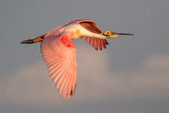 Roseate Spoonbill Inflight (dbadair) Tags: outdoor seaside shore sea sky water nature wildlife 7dm2 ocean canon florida bird flight bif pink desoto wading spoonbill