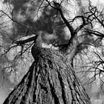 An Old Tree thumbnail