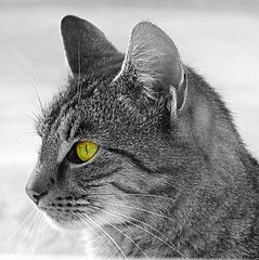 cat eye (majka44) Tags: cat eye animal yellow black white art creation fauna nature natural portrait