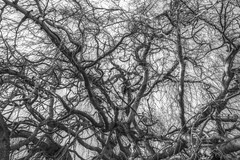 Tree (kris.notaro) Tags: nature tree blackandwhite monochrome mono greyscale lines woodyperennialplant woody perennial plant typically having single stem or trunk growing considerable height bearing lateral branches some distance from ground