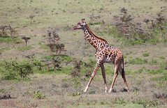 Giraffe (ashockenberry) Tags: giraffe nature naturephotography wildlife wildlifephotography tall towering tourism eco africa tanzania safari savanna serengeti