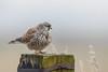 R18_9109 (ronald groenendijk) Tags: cronaldgroenendijk 2018 copyright falcotinnunculus rgflickrrg animal bird birds birdsofprey copyrightronaldgroenendijk groenendijk kestrel nature natuur natuurfotografie netherlands outdoor ronaldgroenendijk roofvogels torenvalk vogel vogels
