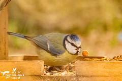 Blue Tit (SLHPhotography1990) Tags: wildlife wild bird nature native garden life feeding isleofwight blue tit