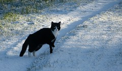 The white stuff is cold.... (joeke pieters) Tags: 1380353 panasonicdmcfz150 artur kat kater cat tomcat sneeuw snow