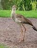 Red legged Seriema - Cariama Cristata (abrideu) Tags: abrideu canon redleggedseriemacariamacristata bird avifauna grass ngc npc