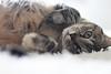chiti2 (sitoelone) Tags: gatos mascotas hogar