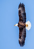 Bald Eagle (Glenn R Parker) Tags: baldeagle eagles
