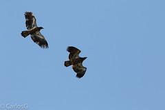 Juvenil bald eagle (Haliaeetus leucocephalus) (Gogolac) Tags: 2017 aves birdphotography birdie birds falcoperegrinus fauna location ny newyork palisadestatepark park peregrinefalcon statepark usa year birdspot birdsspotters fotografiasrealizadasenel2017 falco peregrin falcon