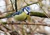 Blue tit (eric robb niven) Tags: ericrobbniven scotland dunkeld birnam wildlife wildbird nature perthshire springwatch