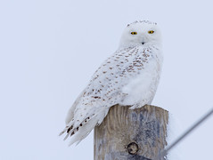 Harfang des neiges (Snowy owl) (miro_mtl) Tags: arbres attente buboscandiacus d7200 harfangdesneiges hibou mirabel montreal nikon nikond7200 outdoors snowyowl stbruno sthubert tamron tamronsp150600mm america amerique animals bird birdofprey blanc canada ciel cloudysky feathers hiver light morninglight nature oiseau oiseaudeproie owl patience quebec raptor sky snow trees waiting wildlife winter