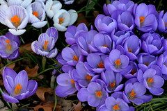 AFTER ALL THE HORRIBLE WEATHER IN ABBOTSFORD LAST WEEK, MY CROCUS FLOWERS ARE IN WONDERFUL BLOOM, RIGHT ON SCHEDULE (vermillion$baby) Tags: alta avemy garden abbotsford closeup color crocus flower spring bc fraservalley beautifulbc