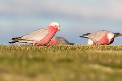 Galah (Eolophus roseicapillus) (Ian Colley Photography) Tags: galah eolophusroseicapillus inverell bird canoneos7dmarkii ef500mmf4lisusm