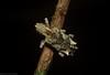 Aesiotes sp. (dustaway) Tags: arthropoda insecta coleoptera curculionidae aterpini aesiotes pinebarkweevil australianbeetles australianinsects rainforest rotarypark rprr lismore northernrivers nature nsw australia