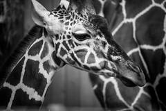 Giraffe (LAK.Photography) Tags: animal tier sw schwarzweis schwarzweiss schwarz weiss tele bw blackwhite black whiteblack white nikon d810 sigma 120400mm