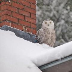 Snowy Owl, 125 Sherwood Street (Bill Bunn) Tags: snowyowl portland maine