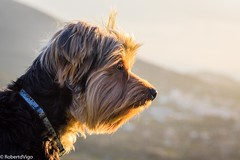 Lia watching (kalybia) Tags: animales dog yorky yorkshire cannon eos 77d terrier contraluz