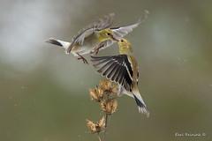 This is my perch (Earl Reinink) Tags: bird animal winter finch snow outside perch songbird nature photo earl reinink earlreinink trees lichen goldfinch americangoldfinch orodtatdza