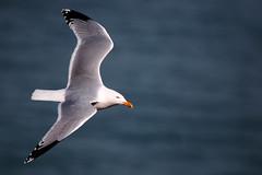 Herring Gull in flight. (Chris Kilpatrick) Tags: chris canon canon7dmk2 outdoor wildlife nature gull herringgull seabird sea water irishsea peel isleofman animal bird flight march