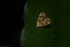 Choreutis (dustaway) Tags: arthropoda insecta lepidoptera choreutidae choreutis metalmarkmoth australianmoths australianinsects rainforest rprr rotarypark lismore northernrivers nsw nature australia