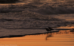 Love Birds (Explored) (danny.mayan1386) Tags: sunrise beach ocean outerbanks waves shorebirds
