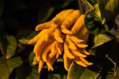 Cedro mano di Buddha (kyry2010) Tags: cedro mano di buddha cedar zeder agrumi citrus fruit agrumes macro close up giallo yellow