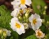 Nature @ Work.. (Adam Swaine) Tags: bees insects flowers flora naturelovers nature spring petals england english primroses peckhamryepark britain british wildlife londonparks canon beautiful macro macroworld