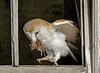 Got it! (Karolina Jantas) Tags: owl harvest mouse prey barn old 2018