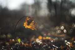 eikenblad . (look to see) Tags: eik eikenblad oak leaf bokeh 2018 mariahof beek bree belgium vintagelens supersankor