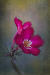 Desert Rose (ulli_p) Tags: asia art artofimages aworkofart awardtree artisticexpression blossoms canon750d canvas desertrose exoticimage flickraward flowers isan likeapainting nature ruralthailand southeastasia thailand texture textured texturedphoto