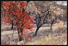 Arbres brûlés  - Burnt trees (diaph76) Tags: extérieur incendie fire arbres trees france var troncs trunks terre earth
