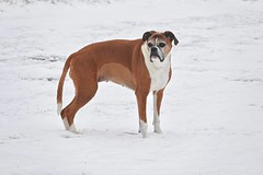White Paws (Deepgreen2009) Tags: trixy boxer snow pet home garden white paws alert play winter