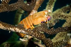 Swollen-claw mantis (Beth Bennett & Gérard Cachon) Tags: scuba diving underwater bonaire reef caribbean shrimp mantis gorgonian aquarius shorediving nauticam 100mm macro