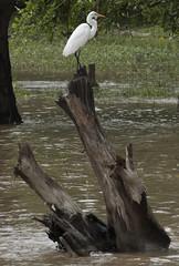 Garça no Madeira (felipe sahd) Tags: riomadeira garças aves portovelho rondônia brasil norte