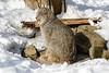 _D6X1465 (pxr57) Tags: sainteannedebellevue québec canada ca lynx nikon d600 eco zoo