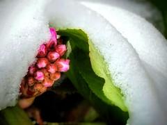 Snow blanket Flower Spring /Hópaplan Virág Tavasz (ejva.r007) Tags: schnee decke blumen frühling snow blank flower spring hópaplan virág tavasz blanket makro