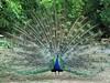 (꧁greis꧂) Tags: faenza parco bucci peacock