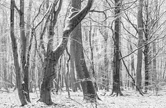 Winter (Petra Runge) Tags: wald baum winter landschaft natur schnee snow tree woodland nature landscape forest monochrome blackwithe schwarzweis
