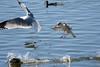 Ring-billed Gulls (linda m bell) Tags: bonelliregionalpark sandimas california 2018 birdwatching bonellipark bird socal ringbilledgull coot
