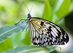 Resting Wings (dianne_stankiewicz) Tags: insect nature wildlife butterfly paperkite pattern wings