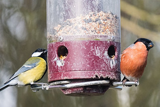 Bullfinch and Gt Tit on feeder