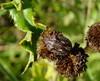 Eurygaster testudinaria (rockwolf) Tags: eurygastertestudinaria scutelleridae tortoisebug hemiptera heteroptera punaise insect denepark kent 2017 rockwolf