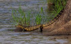 Nile Monitor (ashockenberry) Tags: reptile monitor nile animal tarangire national park lizard travel tourism lake watering hole perch nature naturephotography wildlife wildlifephotography ashleyhockenberryphotography africa herpetology