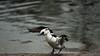 Smew flapping (PChamaeleoMH) Tags: anatidae birds centrallondon ducks flapping london smews stjamesspark