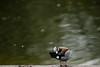 Ringed teal preening (PChamaeleoMH) Tags: birds centrallondon london ringedteal stjamesspark