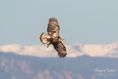 Bald Eagle fishing attempt 2 - 1 of 12