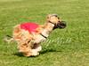 CoursingVillaverla2016w-049 (Jessica Sola - Overlook) Tags: dogs sighthounds afghanhounds greyhounds saluki barzoi italiangreyhounds irishwolfhounds lurecoursing lure race run dograces field greengrass