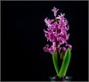 Pink Hyacinth (Me in ME) Tags: flora hyacinth flower bulb forcing