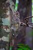 Permai Rainforest Resort (Phalinn Ooi) Tags: santubong kuching sarawak borneo malaysia asia permairainforestresort damai beach pantai sarawakculturalvillage kampungbudaya matangwildlifecentre tamannegara nationalpark kubah wetlands people portrait culture dayak wildlife animals nature outdoor adventure travel wanderlust holiday cuti jalan landmark orangutan flyinglemur proboscismonkey trekking hiking frog safari river boat photography canon eos dslr bokeh macro 5dm4 sape trump iban bidayuh wallace rainforestworldmusicfestival family son wife woman animal forest water tree sexy flora fauna food hotel local treehouse love girl architecture building colugo